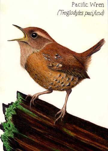 Pacific Wren illustration by Nora Sherwood