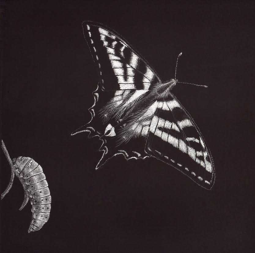 Pale Swallowtail illustration by Nora Sherwood