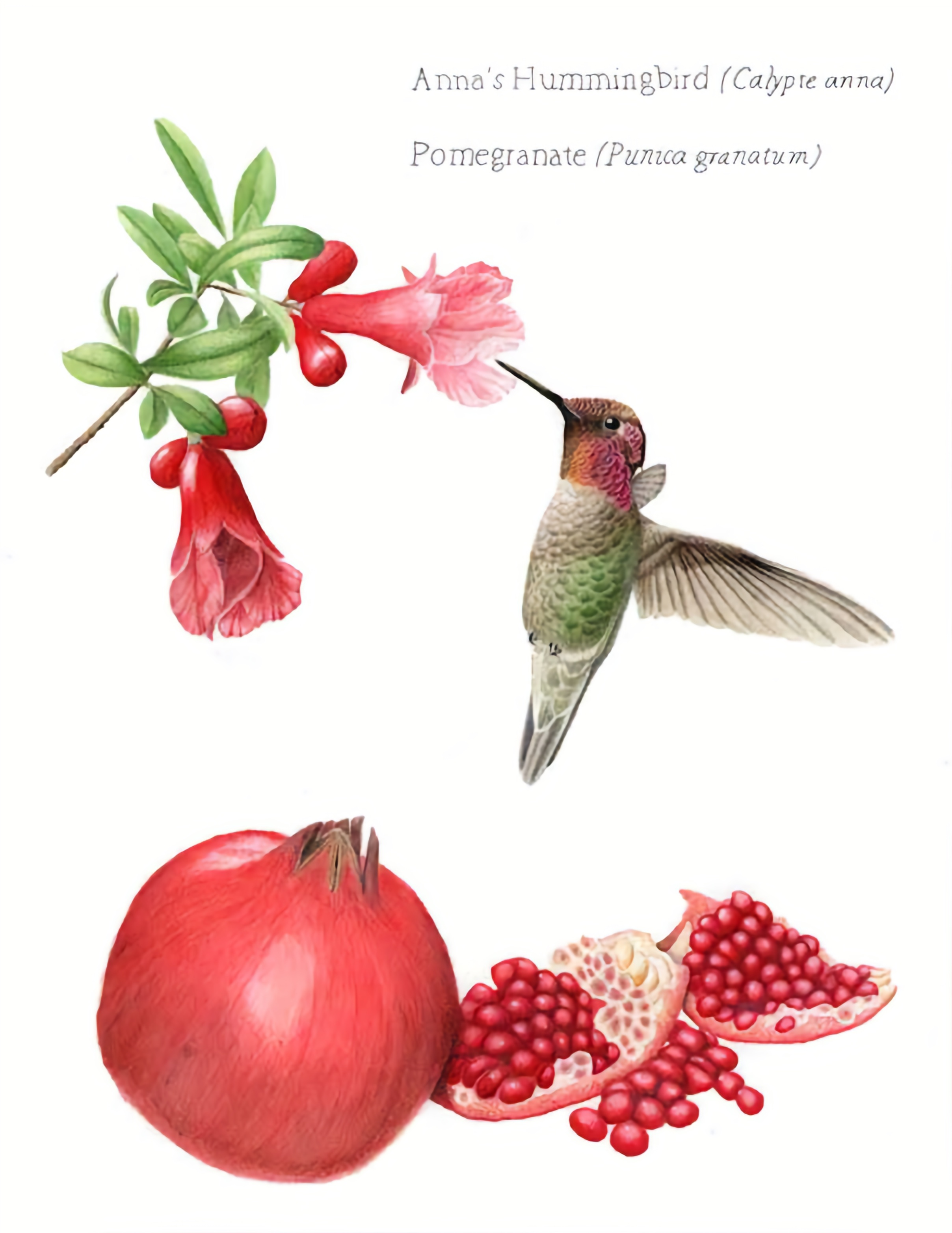 Pomegranate and Anna's Hummingbird illustration by Nora Sherwood